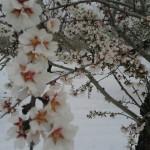 Almendro en flor nevado